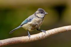 взрослый голубой ювенильный tit plumage Стоковые Изображения RF