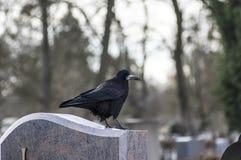 Взрослый грачонок сидя на камне Стоковая Фотография