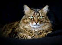 взрослый енот красивый Мейн черного кота предпосылки Стоковые Изображения