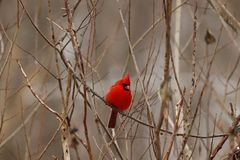 Взрослый кардинал садился на насест в дереве стоковые изображения