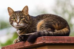 Взрослый кот tabby лежа на плоской верхней части штендера стоковое фото