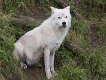 Взрослый ледовитый волк сидя в траве Стоковая Фотография