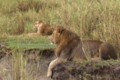 взрослый лежать львицы льва предпосылки стоковые изображения