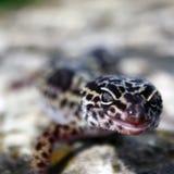 взрослый леопард gecko Стоковые Изображения