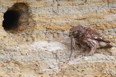 Взрослый маленький сыч с lizzard в клюве Стоковое Изображение