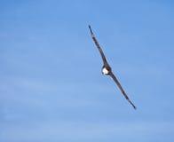 Взрослый облыселый орел Стоковое Изображение RF