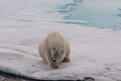 Взрослый полярный медведь покрывая свою сторону, Свальбард стоковое фото