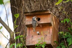 Взрослый поползневый птицы сидит около молодого птенеца Стоковые Изображения RF