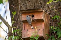 Взрослый поползневый птицы сидит около молодого птенеца Стоковая Фотография