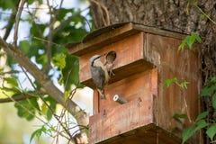 Взрослый поползневый птицы сидит около молодого птенеца Стоковые Изображения