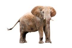 взрослый слон Стоковое фото RF