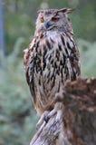взрослый сыч орла Стоковая Фотография RF