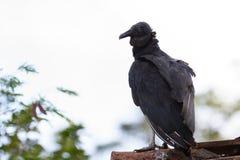 Взрослый черный хищник Стоковое Изображение