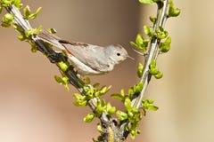 взрослый warbler lucy s Стоковая Фотография
