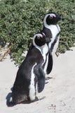 2 взрослых африканских пингвина Стоковое Фото