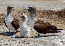 2 взрослых голубых footed олуха с их цыпленоком стоковые фотографии rf
