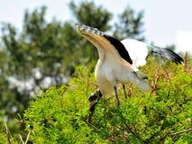 Взрослая белая птица деревянного аиста на дереве в заболоченных местах Стоковое Изображение RF