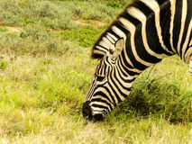 Взрослая голова зебры Стоковые Изображения RF