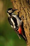 Взрослая женщина большой запятнанный woodpecker Стоковое Изображение