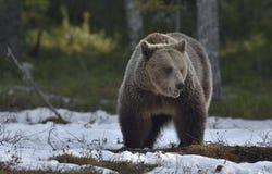 Взрослая женщина бурого медведя (arctos Ursus) на снеге Стоковая Фотография RF