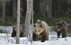 Взрослая женщина бурого медведя (arctos Ursus) с новичками после спячки на лесе снега весной Стоковые Изображения