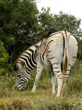 взрослая зебра Стоковая Фотография RF