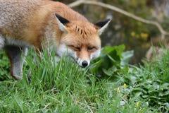 Взрослая красная великобританская лиса Стоковые Изображения