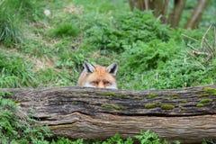 Взрослая красная великобританская лиса Стоковые Фото