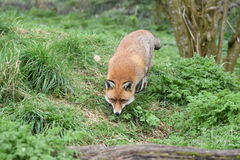 Взрослая красная великобританская лиса Стоковое фото RF