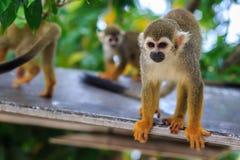 Взрослая обезьяна Saimiri. Стоковые Изображения RF