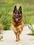 Взрослая собака немецкой овчарки Стоковое Изображение