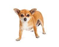 Взрослая собака Crossbreed чихуахуа стоя смотрящ вперед Стоковые Фотографии RF