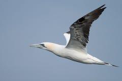 Взрослое летание gannet Стоковое Фото