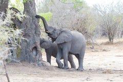 2 взрослое и молодые африканские слоны одно идя в куст Сафари живой природы в национальном парке Kruger, главном destin перемещен Стоковая Фотография RF