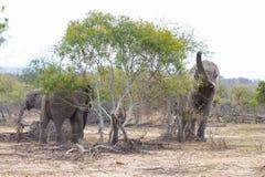 2 взрослое и молодые африканские слоны одно идя в куст Сафари живой природы в национальном парке Kruger, главном destin перемещен Стоковое Изображение RF