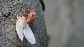 Взрослое появление цикады акции видеоматериалы