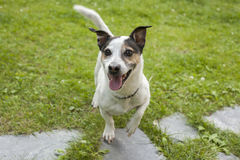Взрослые брюки собаки Джека Рассела Стоковые Изображения RF
