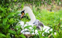 Взрослые лебедь и молодые лебеди стоковые изображения