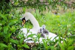 Взрослые лебедь и молодые лебеди стоковое фото rf