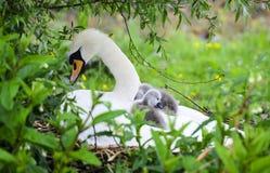 Взрослые лебедь и молодые лебеди стоковые фото