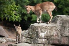 Взрослые и молодые козы Стоковая Фотография