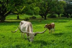 Взрослые лонгхорн Техаса и икра, Луизиана Стоковое Изображение RF