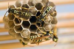 Взрослые оси и личинки желтой куртки на большом гнезде Стоковые Фото