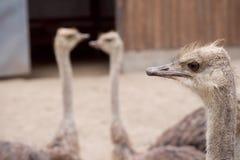 Взрослые страусы Стоковые Фотографии RF