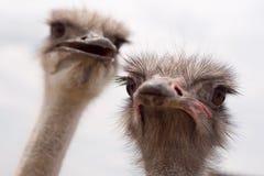 Взрослые страусы Стоковое фото RF