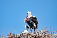 Взрослый аист с младенцем на гнезде Стоковые Фотографии RF