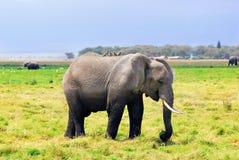 Взрослый африканский слон в болоте Стоковые Изображения RF