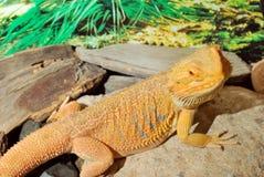 Взрослый бородатый дракон Стоковые Изображения RF