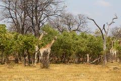 Взрослый жираф пася на дереве Стоковое Изображение RF