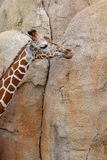 Взрослый жираф Стоковое Изображение